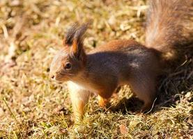 Red squirrel closeup on grass background
