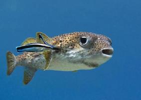 Porcupinefish,  puffer fish, bluestreak cleaner wrasse photo