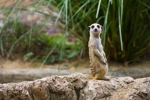 Meerkat standing on a rock, smiling