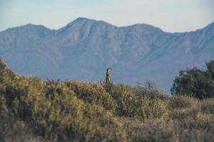 Meerkat at sunrise standing towards the sun. Warming up.