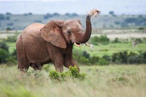elefante africano foto