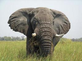 elefante del delta de okavango foto