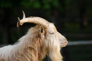chèvre sauvage