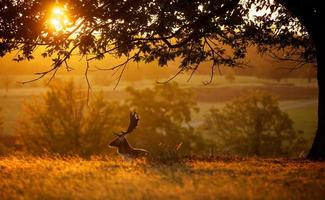 Fallow deer backlit photo
