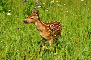 Baby white tailed deer in field of wildflowers.