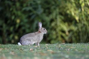 Rabbit, Lepus curpaeums photo