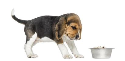 Beagle puppy looking at his bowl with disgust