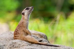meerkat ou suricate