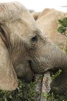 Elephant or elephants in Addo