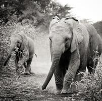 bebé elefantes africanos foto