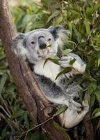chewing koala photo