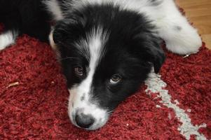 Border Collie Puppy laying Down