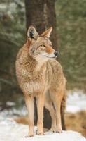 coyote (canis latrans) se encuentra en la nieve mirando a la derecha foto