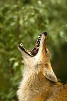 Retrato de un coyote aullador foto