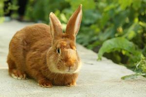 hermoso conejo rojo, de cerca foto