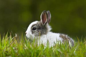 Baby rabbit in grass photo