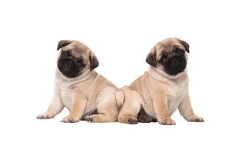 twee pug puppy geïsoleerd op een witte achtergrond