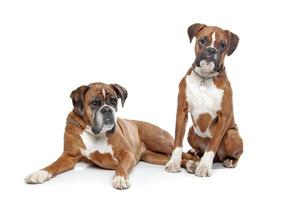 Two plain fawn Boxer dogs