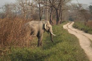 Indian Elephant photo