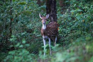 Spotted deer faun