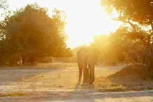 puesta de sol de elefante foto
