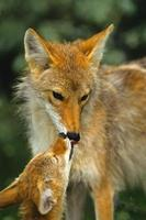 Coyote Mother and Pup Interacting