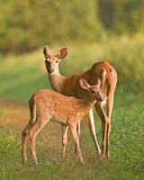 Doe and Fawn on Trail