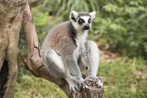 lémur de cola anillada sentado
