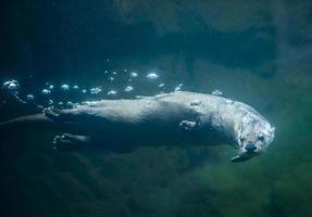 nutria bajo el agua foto