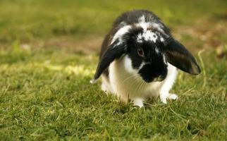 lindo conejo lop foto
