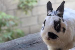 conejo enano holandés foto