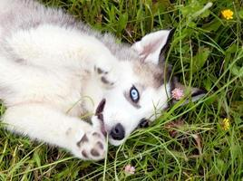 joven cachorro husky foto