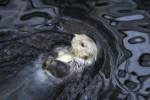 nutria de mar salvaje descansando foto