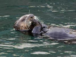 nutria de mar nadando en la espalda y comiendo algo foto