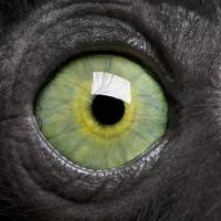 Young Crowned Sifaka's eye