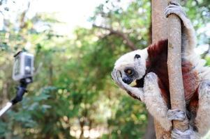 lémur de madagascar