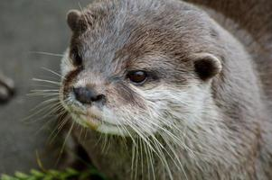 Asian Short Clawed Otter (Aonyx Cinerea)