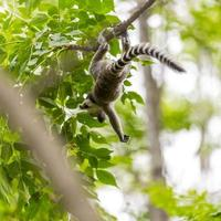Baby lemur playing and falling on a tree