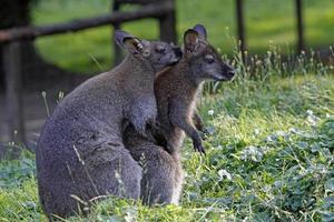 Bennett's wallabies in mating photo