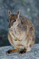 Wallaby foto
