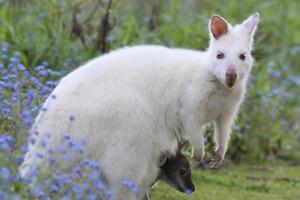 canguru albino.