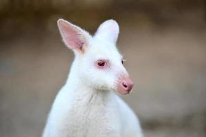 albino wallaby photo