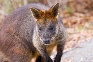 Wallaby de roca con cola de cepillo foto