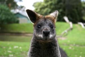 Retrato de primer plano de canguro wallaby freerange foto