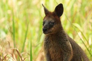 Wallaby de cuello rojo foto