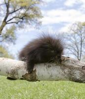 Young porcupine photo
