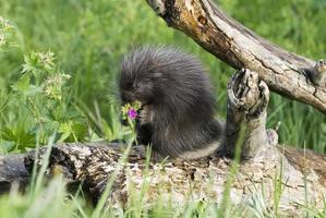 Porcupine baby photo