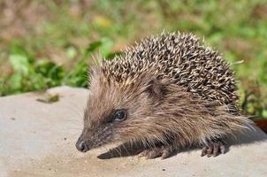 Hedgehog mammal photo