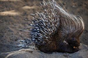 Porcupine (Hystricomorph Hystricidae)