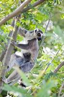 Lemur of Madagascar photo